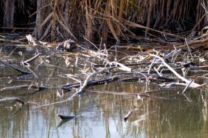 Muskrat in Oxbow pond, Nov. 2014. Photo by Patricia Bouweraerts.