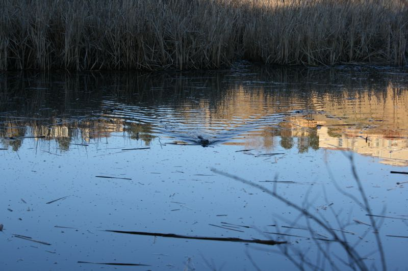 A muskrat swimming across the pond at Oxbow Nature Study Area, Feb. 26, 2015.