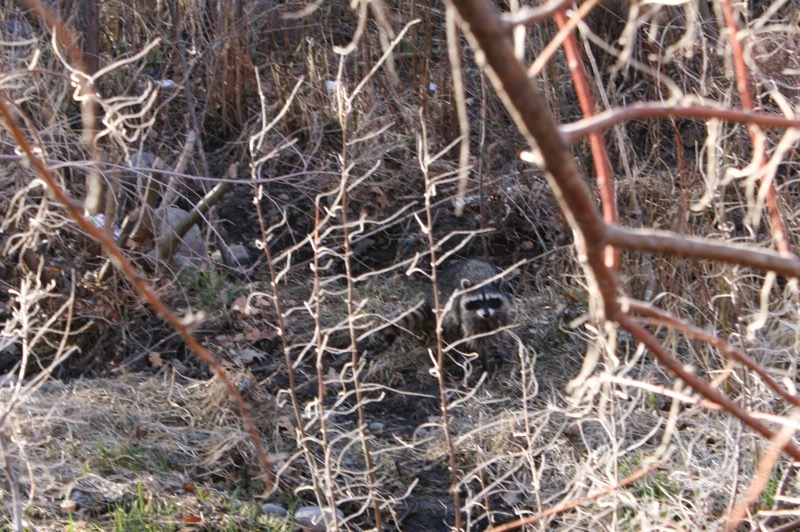 A raccoon peers out from the vegetation at Oxbow Nature Study Area, Feb. 26, 2015.