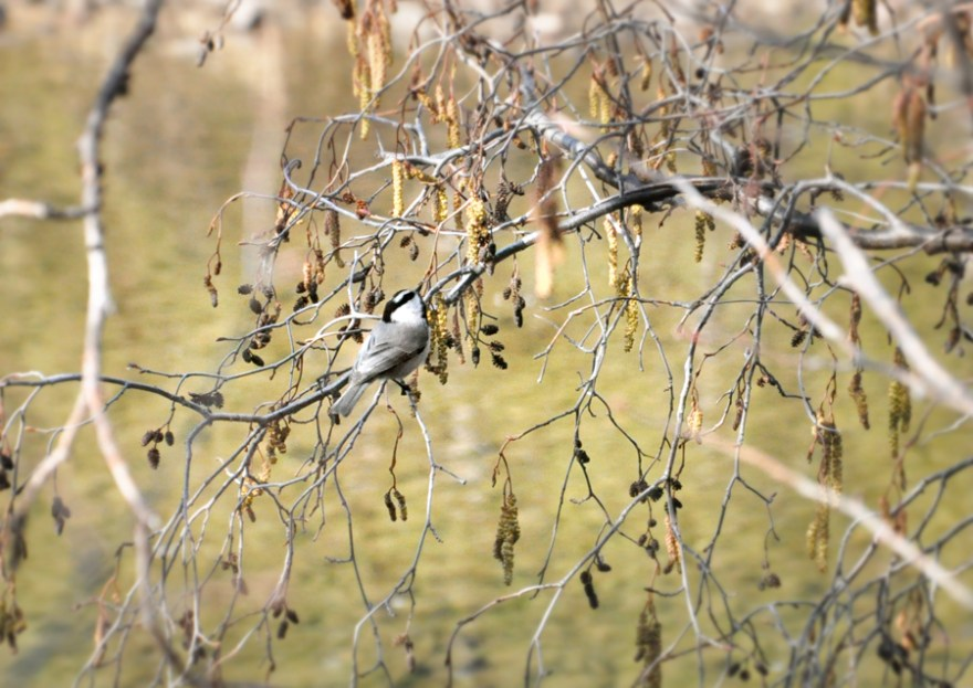 A Mountain Chickadee feeding in a Thinleaf Alder in the Truckee District on Mar.17, 2015. Photo: Joanna Rutkowski.