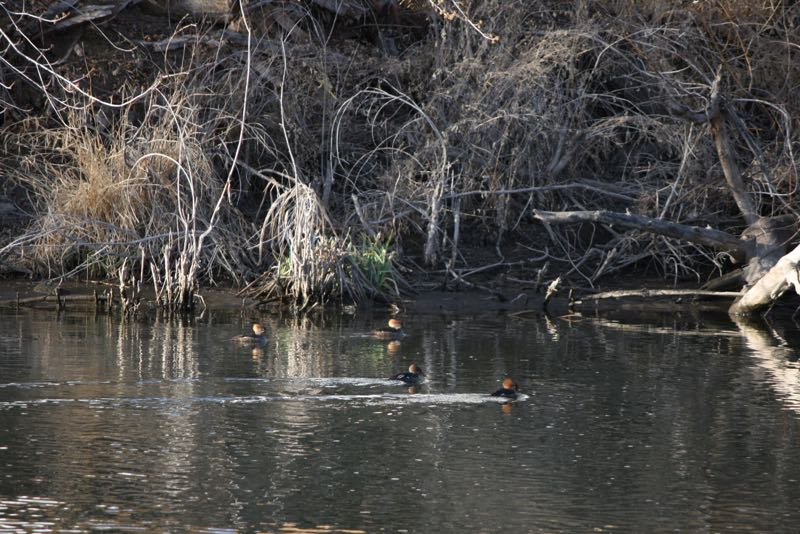 Hooded mergansers (Lophodytes cucullatus) in Lockwood Park, Mar.7, 2015.