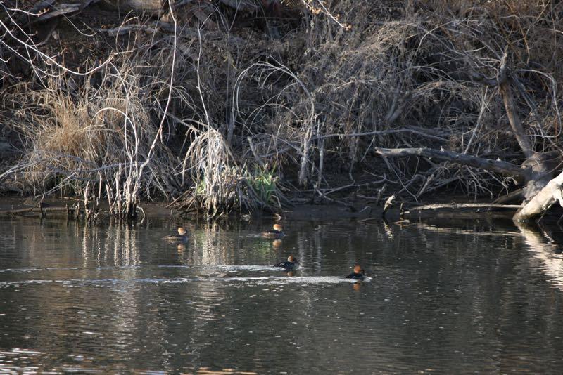 Hooded mergansers (Lophodytes cucullatus) in Lockwood Park, Mar.7, 2015.