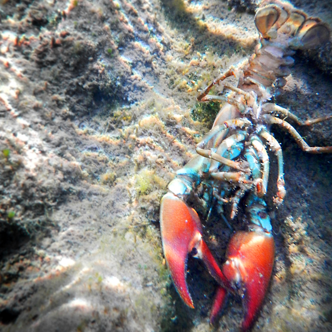 One of several Signal Crayfish (Pacifastacus leniusculus) carcasses along the bottom of the river on Mar. 17, 2015. Photo: Joanna Rutkowski.
