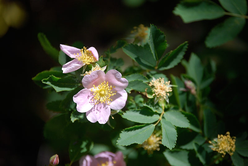 Woods' rose (Rosa woodsii), Truckee River. Photo: K.McCutcheon.