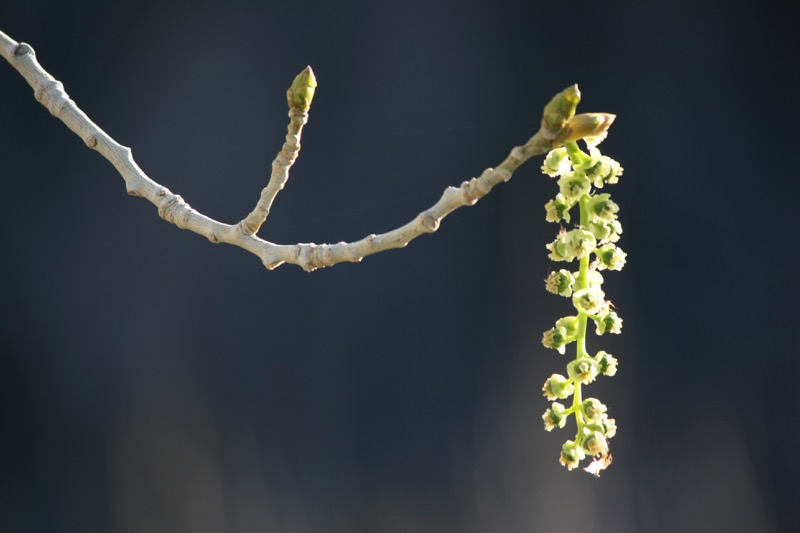 Flower of a Fremont Cottonwood (female), Mayberry Park, Mar 29, 2015.