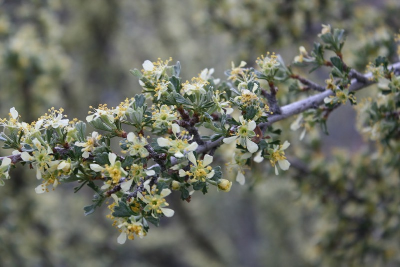 Antelope bitterbrush (Purshia tridentata) in bloom. April 6, 2015.