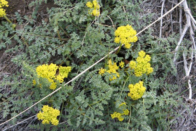 Sonn's Desert Parsley (Lomatium austinae) blooming along the trail, April 6, 2015.