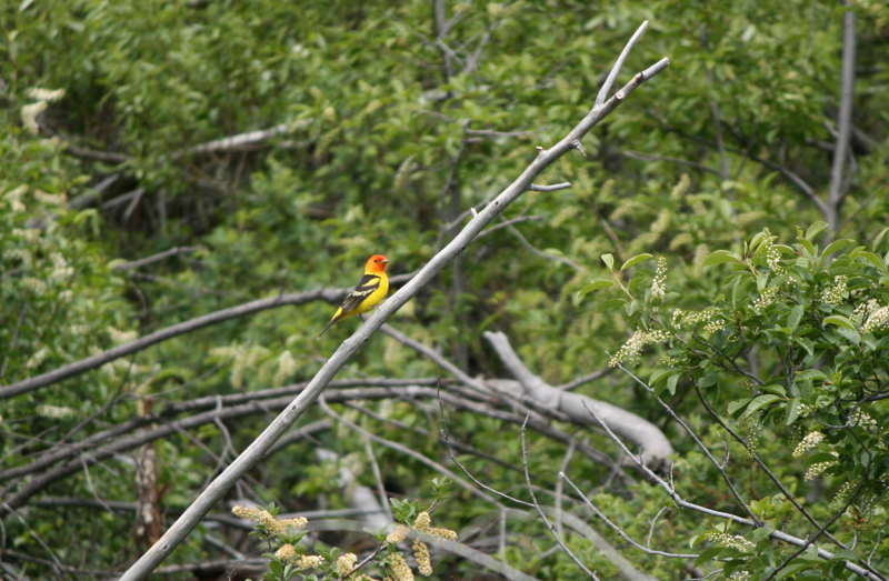 A male Western tanager (Piranga ludoviciana) near the Truckee River, close to Floriston, CA. May 18, 2015.