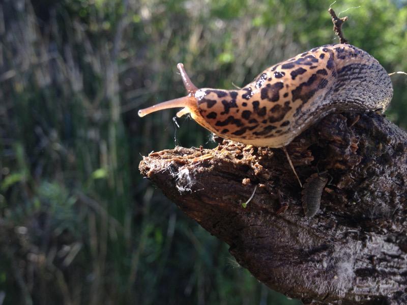 Leopard slug (Limax maximus) in Ambrose Park, Reno. May 2015. Photo: K.McCutcheon.