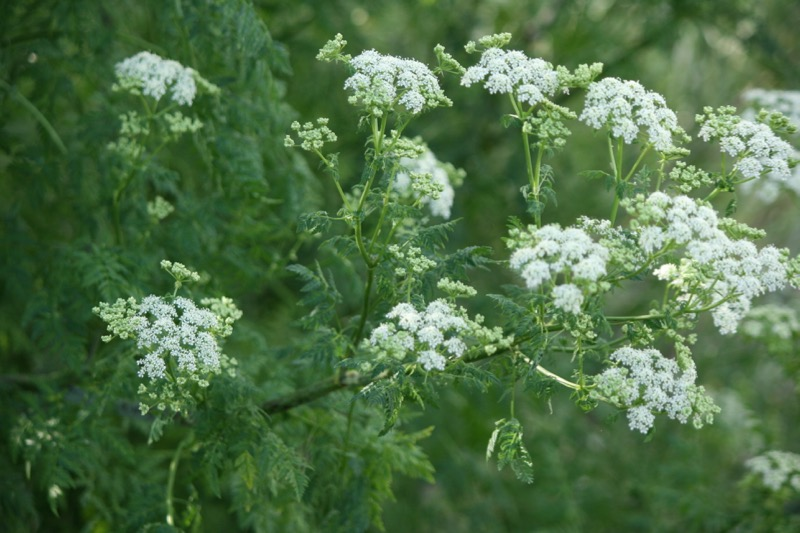 Poison hemlock (Conium maculatum) growing near the Truckee River in Mayberry Park, June 2015. Photo: K.McCutcheon.