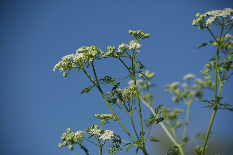 Poison hemlock (Conium maculatum) grows up to eight feet tall. Mayberry Park, June 4, 2015.