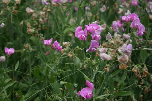 Perennial pea (Lathyrus latifolius), growing near the Truckee River east of Truckee, CA. July 12, 2015.