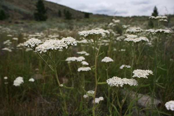 Common yarrow (Achillea millefolium), near the Truckee River, east of Truckee, CA. July 12, 2015.