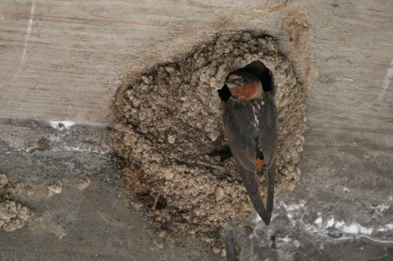 Cliff swallow visits a nest under a bridge in Crystal Peak Park, Verdi. July 28, 2015. Photo: K.Fitzgerald.
