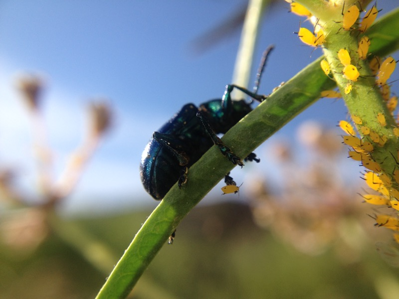 Blue Milkweed Beetle and Oleander Aphids, Mayberry Park. June 30, 2015.