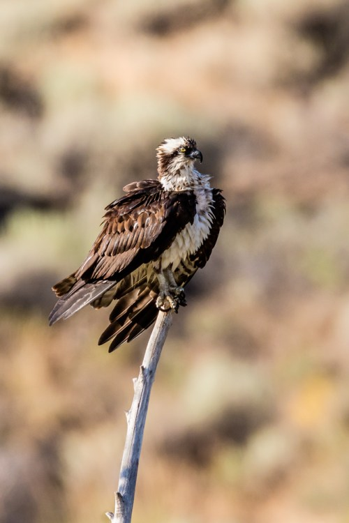 Female Osprey drying, after a bath in the Truckee River. July 21, 2015. Photo credit: Jerry Fenwick.