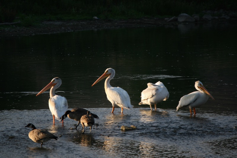 American White Pelicans and Canada Geese at Mustang Ranch Preserve, 6 Aug 2015.