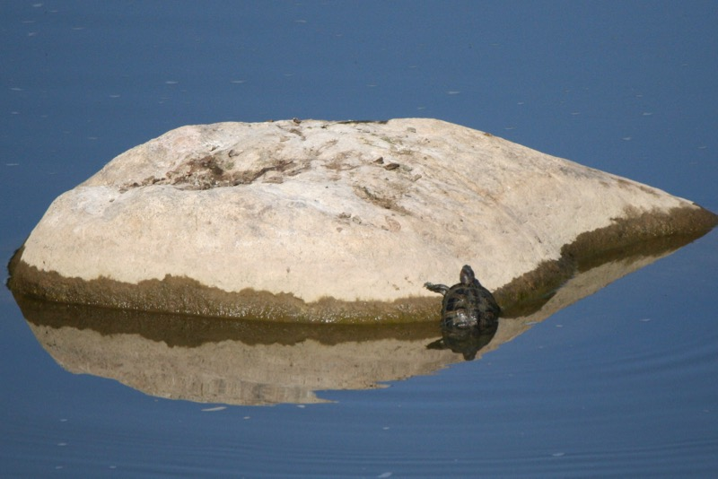 Red-eared slider in the Truckee River near Booth Street Bridge, 12 Aug 2015.