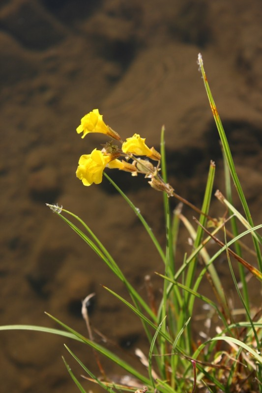 Monkeyflowers growing on the banks of the Truckee. Aug 25, 2015.