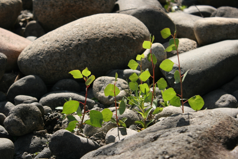 Young Fremont cottonwoods on a rocky bar in the middle of the Truckee River channel, Mayberry Park. Sept 4, 2015.