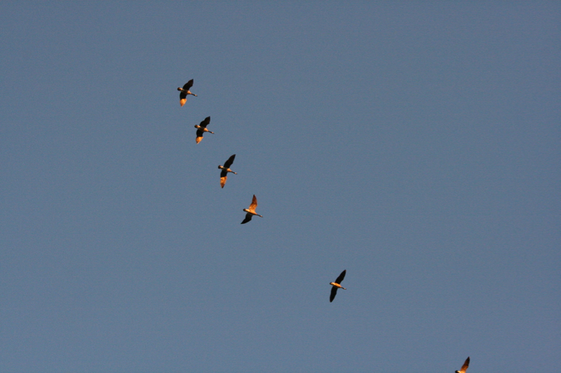 Canada geese, heading east. Oct 9, 2015.