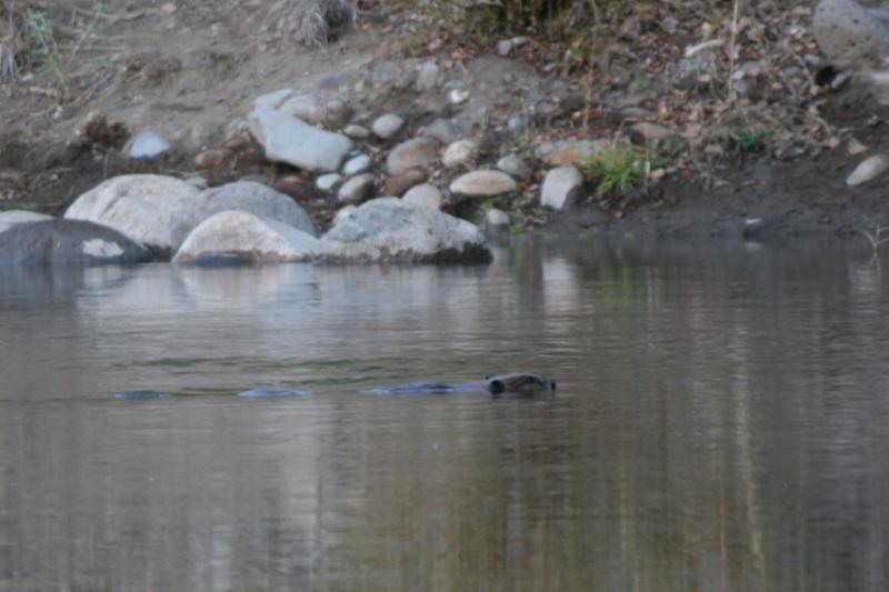 A beaver on a morning swim. Oct 9, 2015.