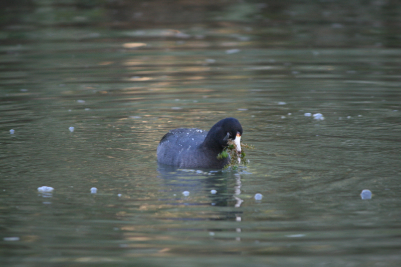 American coot and its breakfast, Oct 9, 2015.