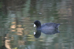 American Coot near Oxbow Park, Oct 9, 2015.