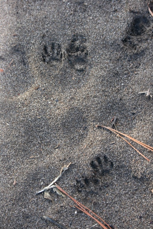 Raccoon tracks, Crystal Peak Park. Dec 22, 2015.
