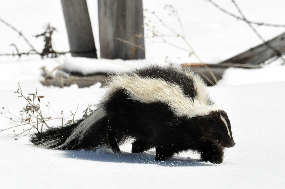 Striped skunk. Photo by Dan & Lin Dzurisin, Creative Commons License.