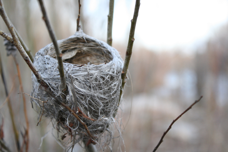 Empty nest, Oxbow Nature Study Area. Feb 14, 2016.
