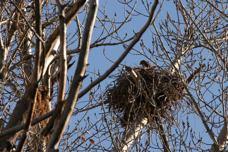 Do you see the Red-tailed hawk? Working on a nest in Mayberry Park. Feb 24, 2016.