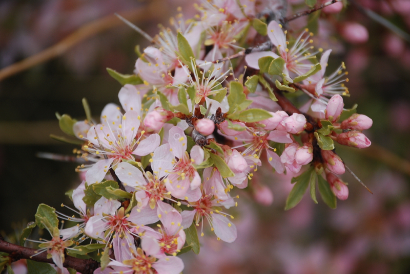 Desert peach bloom along the Truckee River in March and April.