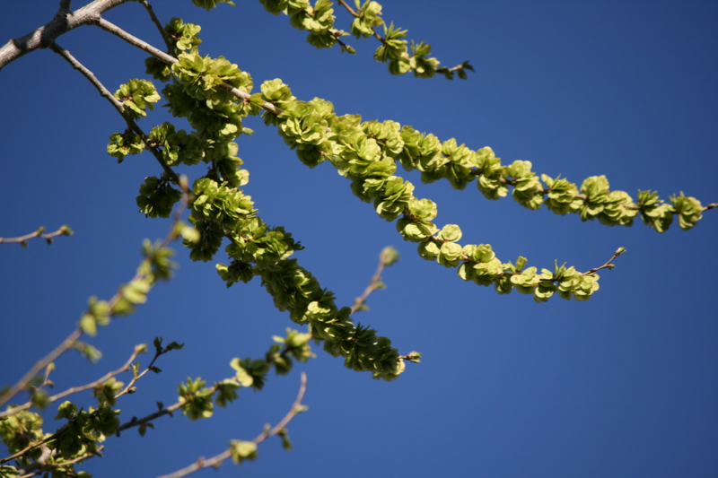 "In March, Siberian elm are green with ""fruit"" (seeds)."