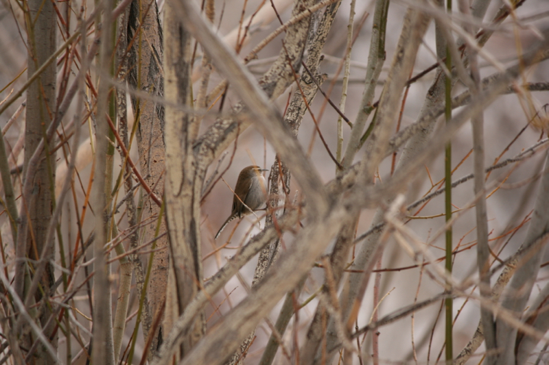 Bewick's wren, Mayberry Park. January, 2017.