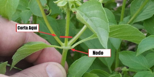 Cómo Podar Albahaca - Trucos De Jardineria