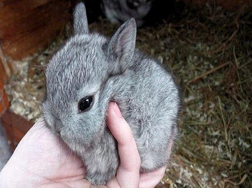 Cuidados del conejo enano