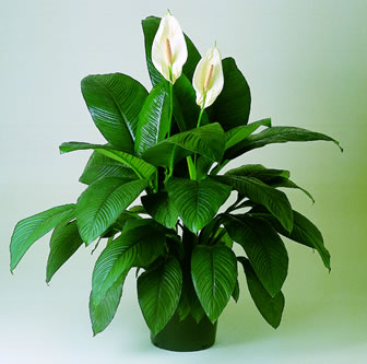 Floración de plantas