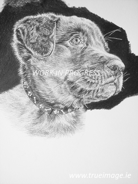 Labrador puppy graphite pencil portrait - work in progress step 6