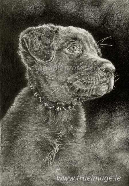 Labrador-puppy-pet-portrait-dog drawing
