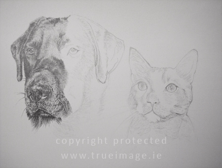 Graphite pencil drawing of a black labrador and a cat - work in progress step 4
