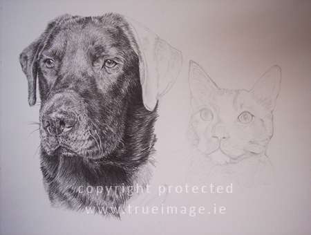 Dog portrait and cat portrait in pencil - portraits in progress - step 6