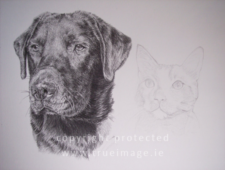 black labrador pencil portrait and cat pencil portrait in progress - step 7