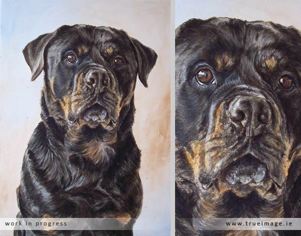 rottweiler dog portrait in progress - stage 4