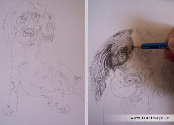 Springer spaniel portrait in progress - step 1