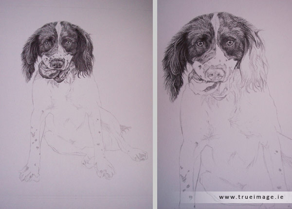 Springer spaniel portrait in progress - step 2
