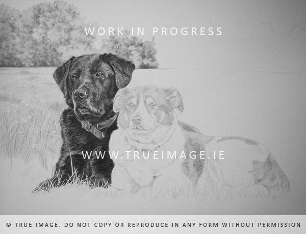 labrador and collie dog portrait in pencil on paper - step 2
