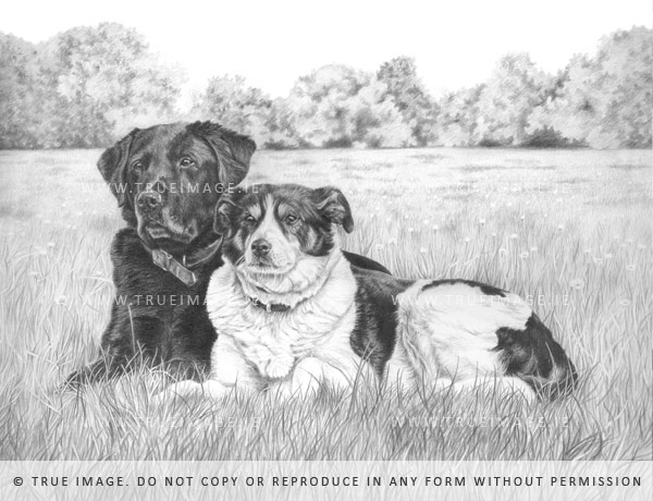 labrador and collie dog portrait in graphite pencil by true image fine art