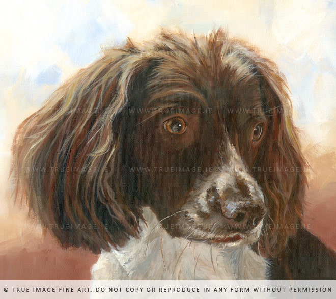 springer spaniel portrait detail