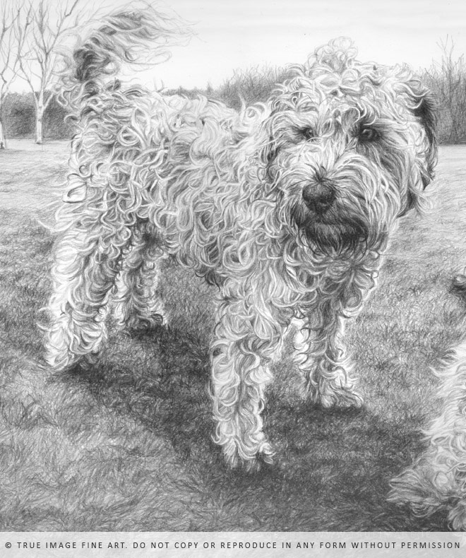 wheaten terrier portrait detail